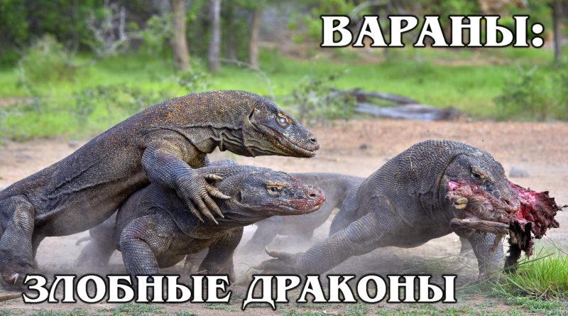 ВАРАНЫ: Хищные ящерицы, похожие на драконов | Интересные факты про варанов, ящериц и рептилий