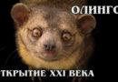 ОЛИНГО: Самого маленького и редкого плюшевого енота открыли в 21 веке | Интересные факты про енотов