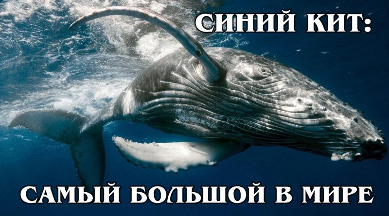 ГОЛУБОЙ КИТ: Самое большое в мире животное | Интересные факты про китов и обитателей мирового океана
