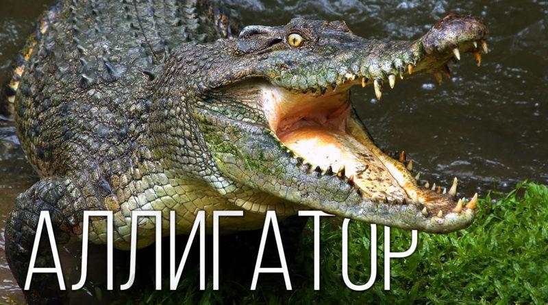 АЛЛИГАТОР: Чем он отличается от крокодилов? Интересные факты про аллигаторов, крокодилов и рептилий