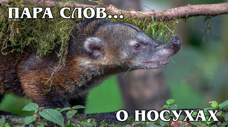 ПАРА СЛОВ... о Носухе | Интересные Факты про енотов и животных Америки