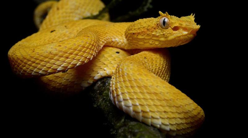 Реснитчатая гадюка: Милая убийца-рептилоид