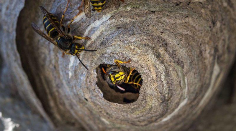 Пчела-каменщик: Строит каменные гнёзда