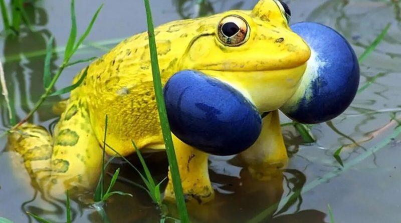 Тигровая лягушка: Агрессивный макияж у земноводных