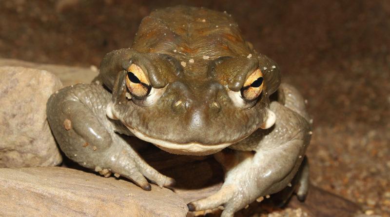 Колорадская жаба: Ядовитая жаба с галлюциногенным токсином