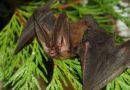 Пятнистый ушан: Летучая мышь с очень большими ушами