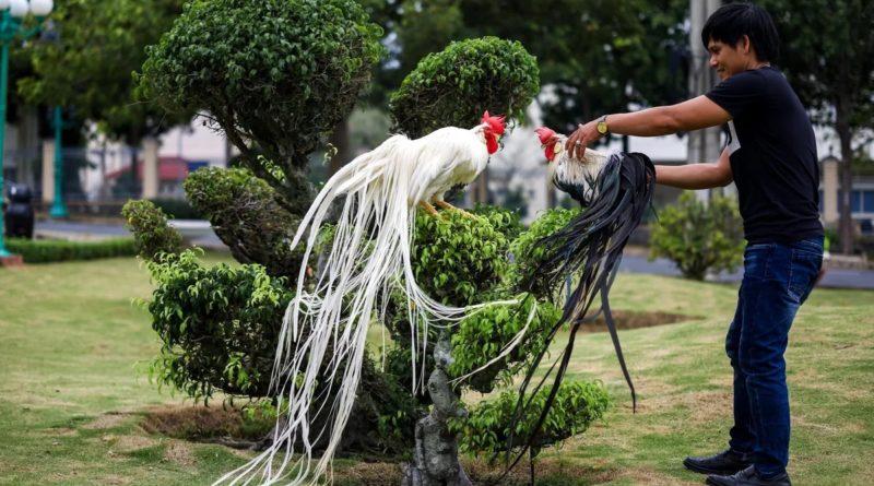 Онагатори: Японская курица с самым длинным хвостом
