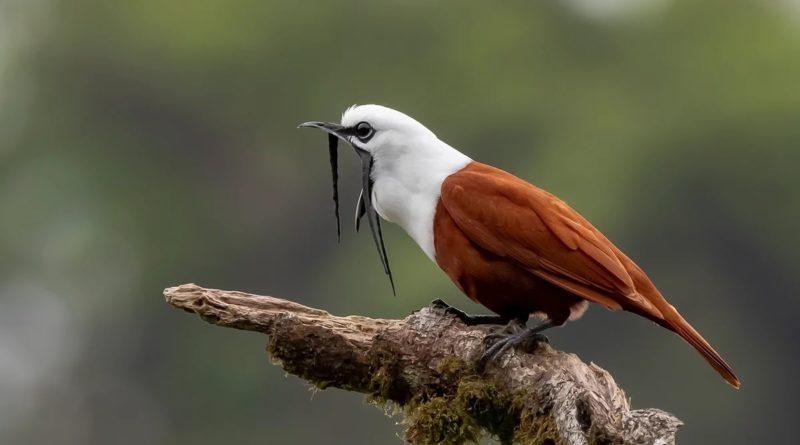 Трёхусый звонарь: Самая громкая птица