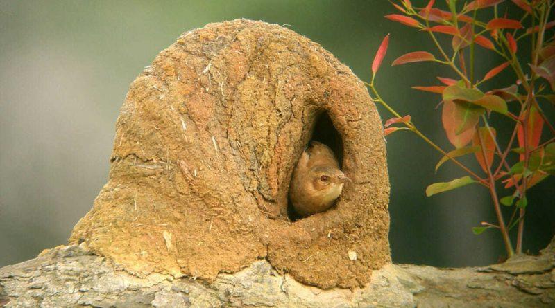 Рыжий печник: Эта птица строит гнезда из глины
