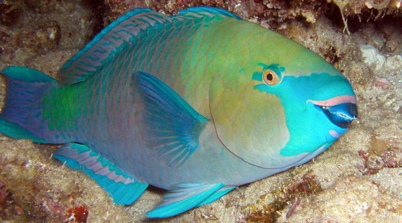 Рыба-попугай: Красивая рыба с супер зубами