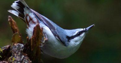 Поползень: Птица, которая умеет ходить вниз головой