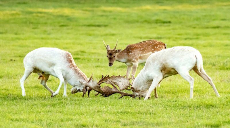 Лань: Красивый олень живет почти везде благодаря охотникам