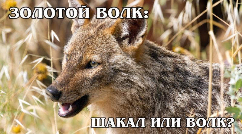 АФРИКАНСКИЙ ЗОЛОТОЙ ВОЛК: Большой шакал или благородный хищник? Интересные факты про волков