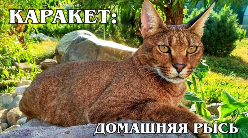 КАРАКЕТ: Гибрид каракала с обычной кошкой - самая дорогая порода кошек в мире | Интересные факты про кошек