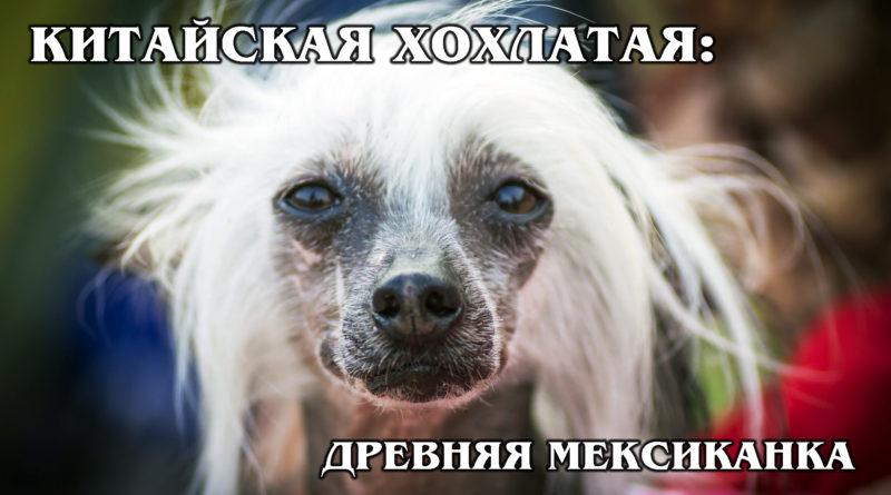 КИТАЙСКАЯ ХОХЛАТАЯ: Самая некрасивая и древняя в мире порода собак | Интересные факты про породы собак