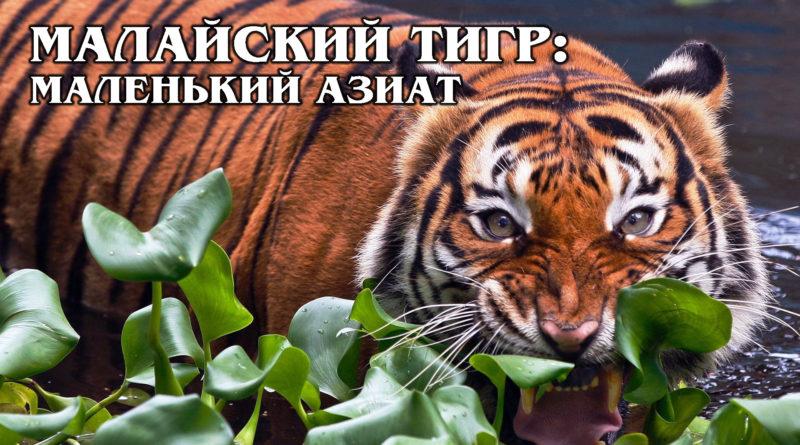 МАЛАЙСКИЙ ТИГР: Самый маленький и редкий вид азиатских тигров | Интересные факты про тигров и больших кошек