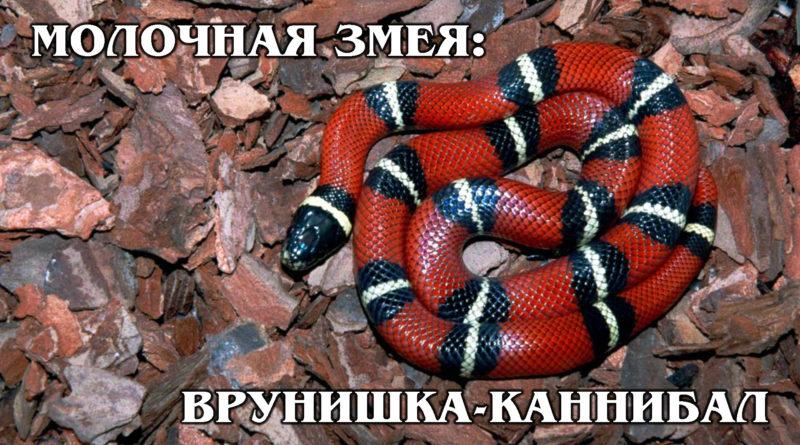 КОРОЛЕВСКИЕ ЗМЕИ: Безопасные змеи-каннибалы с ядовитым окрасом | Интересные факты про змей и рептилий