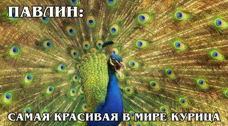 ИНДИЙСКИЙ ПАВЛИН: Райская птица или обыкновенная курица? Интересные факты про птиц