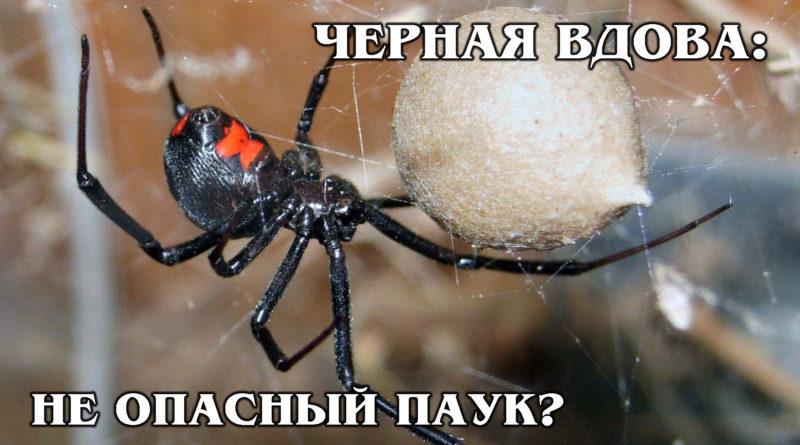 ЧЕРНАЯ ВДОВА: Мифы о самом опасном для человека пауке-каннибале | Интересные факты про пауков