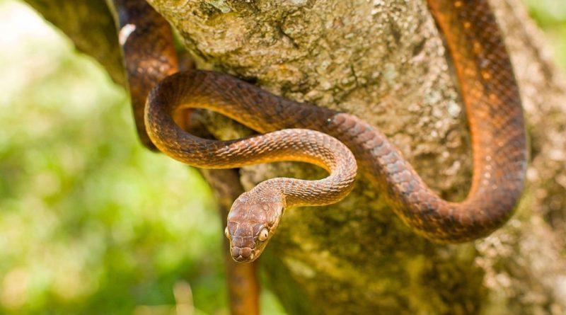 Коричневая бойга: Змея-разрушитель
