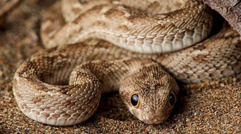 Песчаная Эфа: Одна из самых ядовитых змей в мире