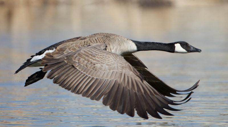 Канадский гусь: Очень агрессивная птица