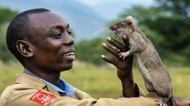 Гамбийская крыса: Гигантская крыса-сапер