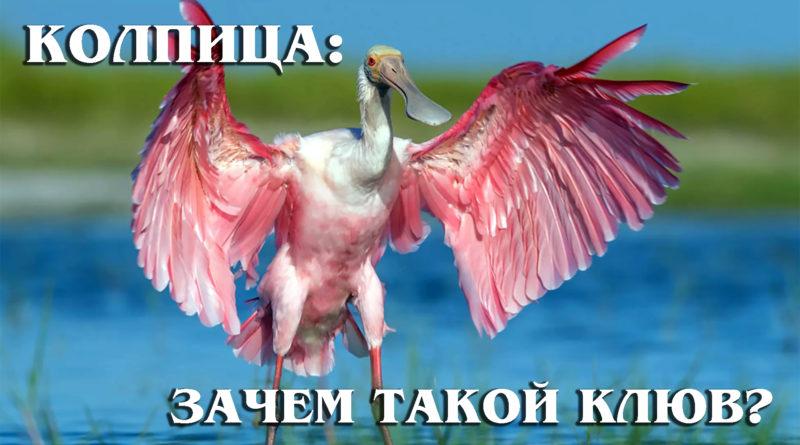 КОЛПИЦА: Необычная птица со смешным клювом | Интересные факты про птиц и животных планеты