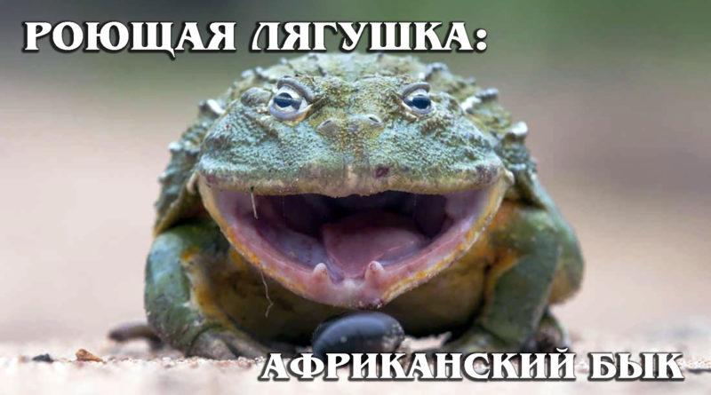 РОЮЩАЯ ЛЯГУШКА: Огромная хищная африканская лягушка-бык или лягушка-водонос | Интересные факты про земноводных