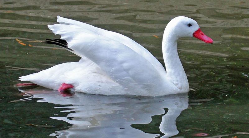 Коскороба: Гусь или лебедь?