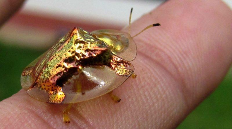 Золотой черепаховый жук: Умеет управлять цветом