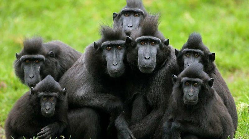Хохлатый макак: Наглый обезьян