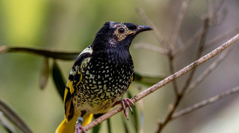 Бородавчатый медосос: Птицы, которые не умеют петь