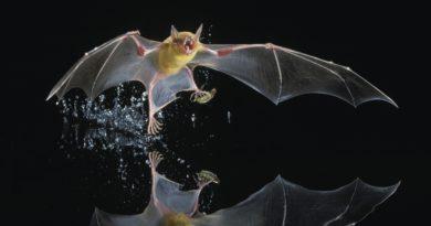 Большой зайцегуб: Летучая мышь питается только рыбой