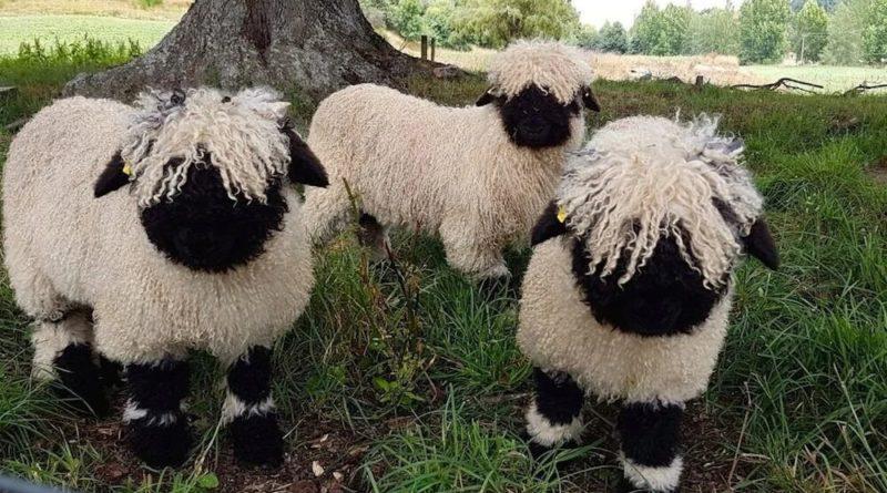 Валлийские черноносые овцы: Мемные барашки