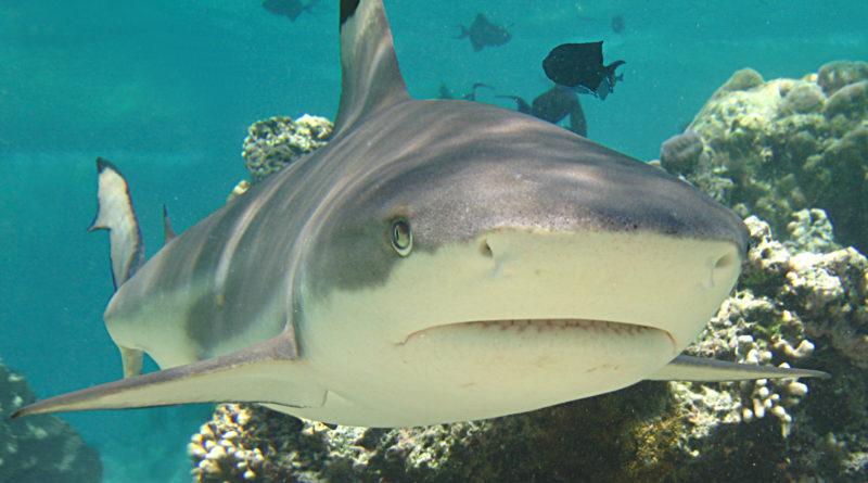 Рифовая акула: Питается страхом жертвы