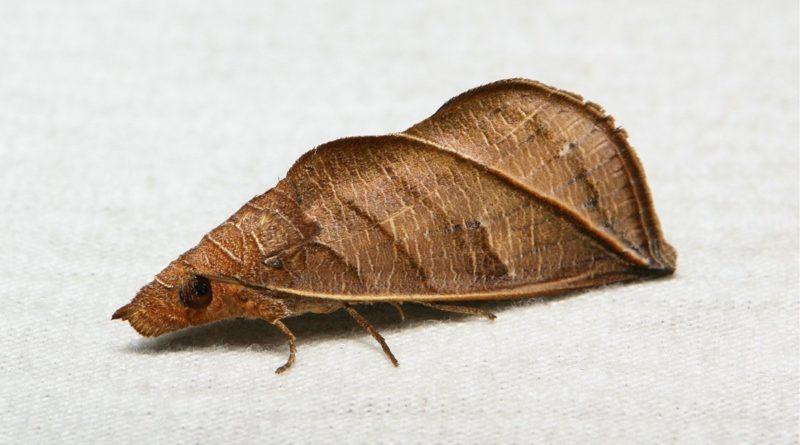 Калиптра василистниковая: Сибирская бабочка умеет пить кровь