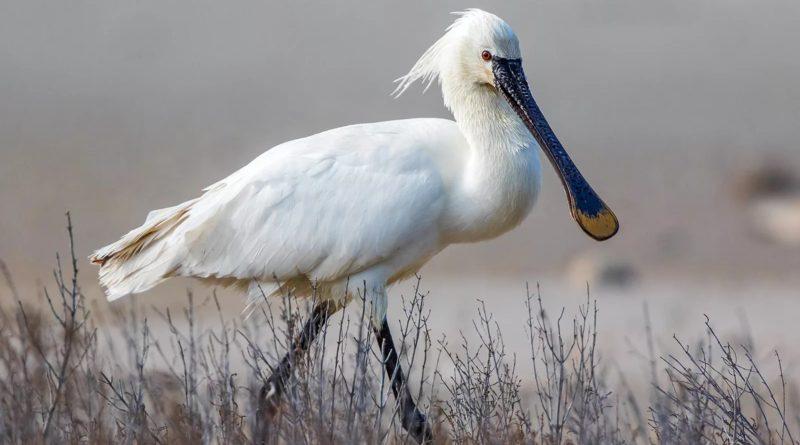 Колпица: Зачем этой птице такой клюв?