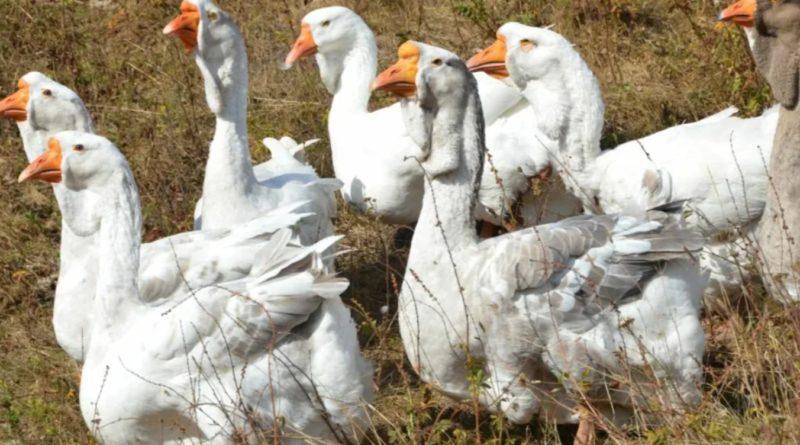 Холмогорские гуси: Русские гиганты