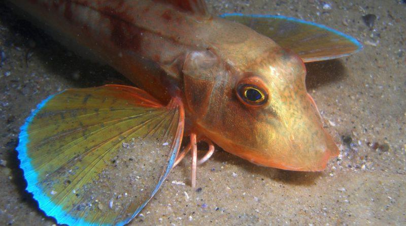 Тригла: Орущая рыба из Черного моря