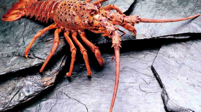 Калифорнийский колючий омар: Усатый нянь
