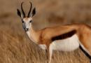 Спрингбок: Африканская антилопа с секретным оружием