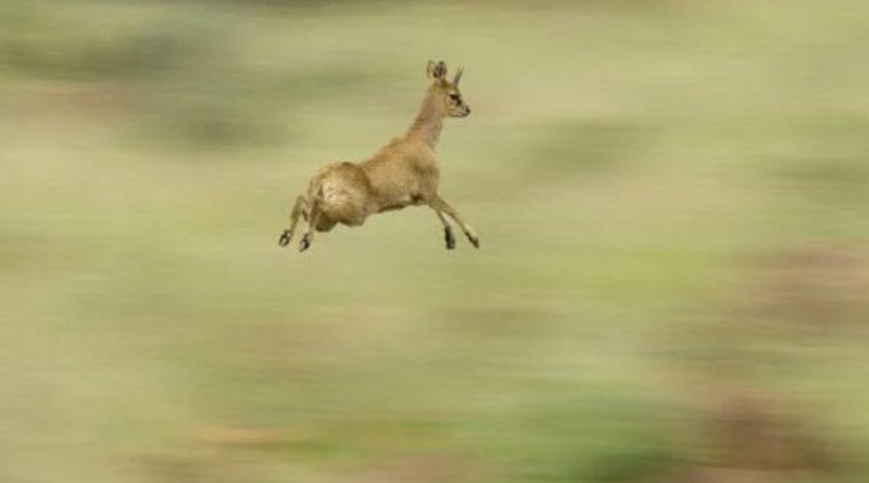 Антилопа-прыгун: Милая маленькая антилопа