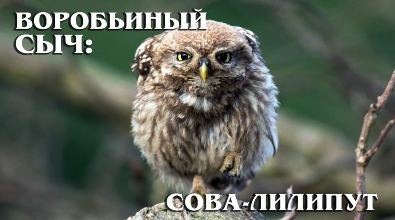 ВОРОБЬИНЫЙ СЫЧ: Очень маленькая, но гордая сова | Интересные факты про сов и птиц
