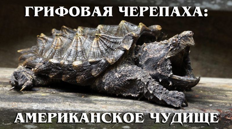ГРИФОВАЯ ЧЕРЕПАХА: Аллигаторовая черепаха – американское водяное чудовище | Интересные факты про рептилий