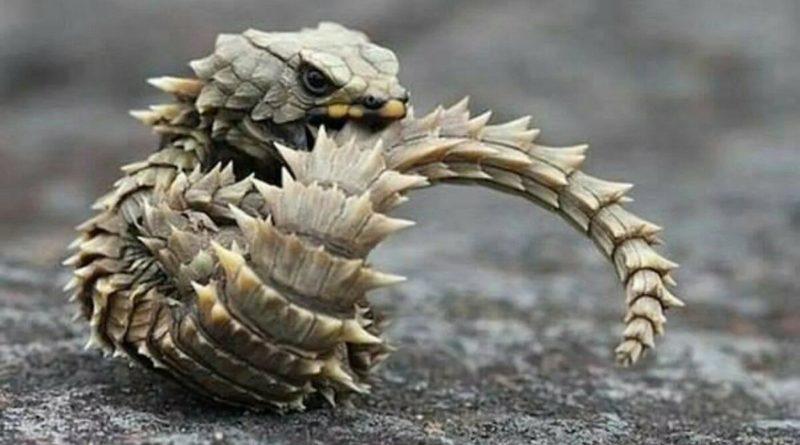 Малый поясохвост: Ящерица-трансформер с усиленной бронезащитой