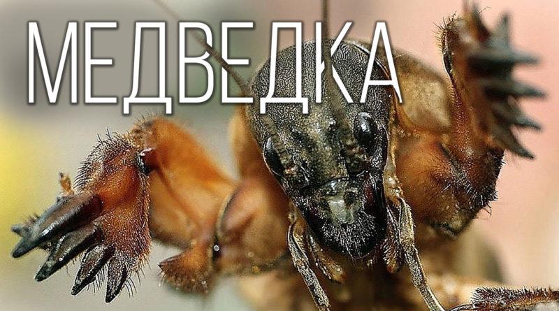 МЕДВЕДКА: Кошмар фермеров и монстр среди насекомых | Интересные факты про насекомых