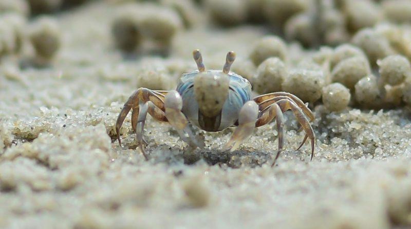 Краб-барботёр: Ест песок с пляжей