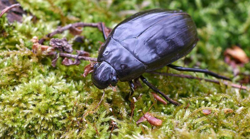 Большой чёрный водолюб: Самый большой российский жук