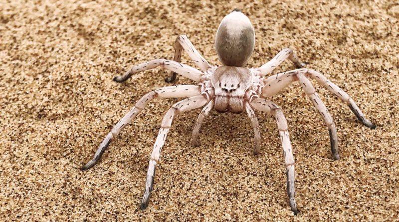 Золотой катящийся паук: Катается, как Колобок
